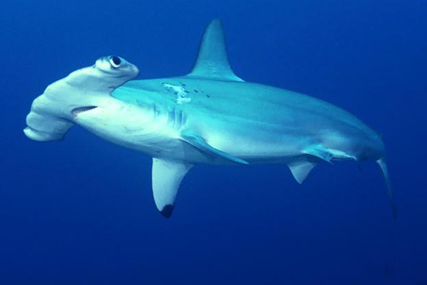 Image result for hammerhead shark