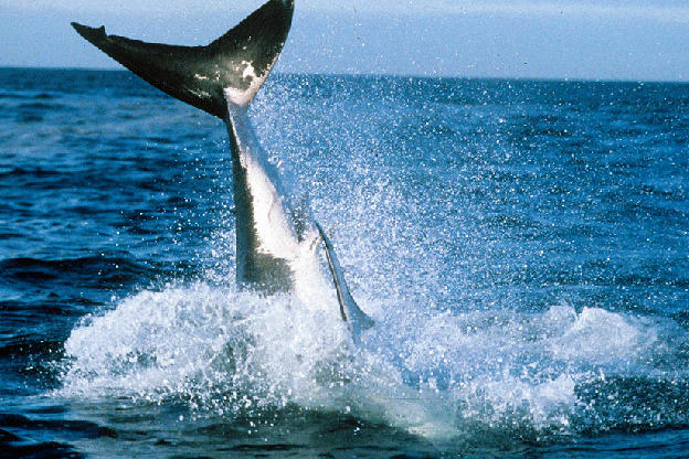 """""""When I first heard that great whites were jumping back in 2000 I didn't believe it,"""" says """"Air Jaws"""" producer Jeff Kurr. """"So, when I saw it for myself and filmed it for the first time I was mesmerized."""""""
