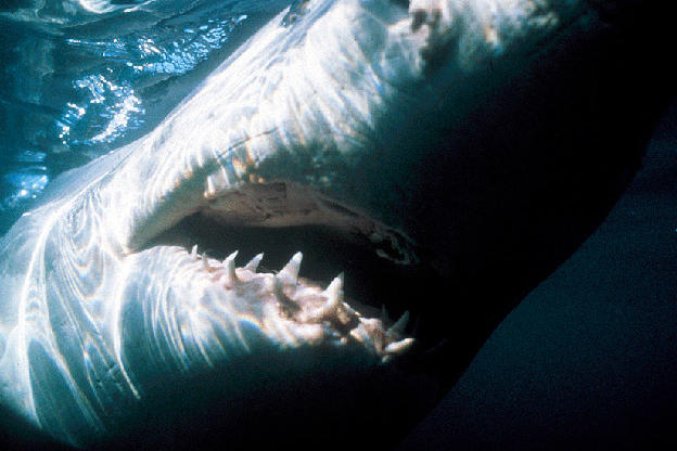 A South African great white shark.
