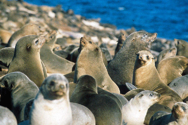 """The Cape fur seals of Seal Island.   There are some 60,000 seals living on the island; only a small percentage are taken by the sharks.  """"Air Jaws"""" features the first-ever footage of great whites from the seal's point of view, thanks to two custom cameras built by producer Jeff Kurr called Seal Cam and the Sea Viewer."""