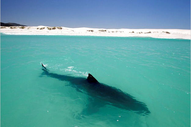 A female great white sunbathes in shallow water off a deserted beach in South Africa. Like us, these sharks enjoy the warmth of the sun and can even develop a suntan. The shallows are rich in oxygen compared to the open ocean, allowing the great white to slow its swimming and breathe more easily.
