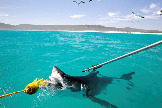 Scientists bait a great white shark in order to attach a satellite transmitter to its dorsal muscle. The tag will tell them where the shark goes and when, helping the researchers unravel the secret behind the Great White Invasion of recent years.