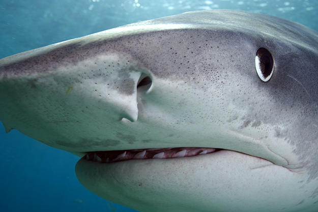 Close-up of tiger shark (Galeocerdo cuvier) off Tiger Beach, Grand Bahama Island, Bahamas.