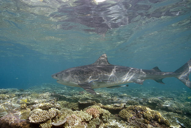 Tiger shark swimming over a reef off Raine Island, Australia.