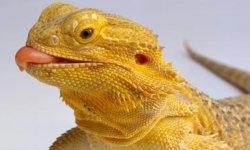 Bearded Dragon Stats Facts Animal Planet